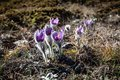 Pulsatilla vernalis in spring early blooming flowers high crimean mountains Royalty Free Stock Image