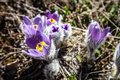 Pulsatilla vernalis in spring early blooming flowers high crimean mountains Royalty Free Stock Photography