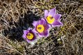 Pulsatilla vernalis in spring early blooming flowers high crimean mountains Royalty Free Stock Photos