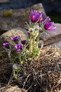 Pulsatilla vulgaris flower at hill side protected plant Royalty Free Stock Photos
