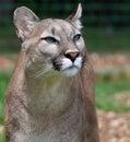 Puma Stock Photo
