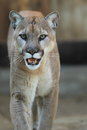 Puma the approaching concolor Stock Images