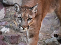 Puma Approaching