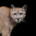 Puma close up portrait on dark background Royalty Free Stock Photo