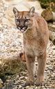 Puma cougar mountain lion Stock Photo