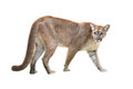 Puma isolated or cougar on white background Royalty Free Stock Photos