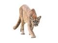 Puma isolated Royalty Free Stock Photo