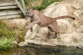 Puma Leaping Off a Rock over Water Royalty Free Stock Images