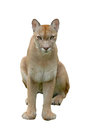 Puma mountain lion isolated white background Stock Image