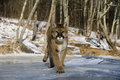 Puma or mountain lion puma concolor single cat in snow captive Stock Photography