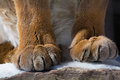 Puma paws a closeup shot of the of a mountain lion Royalty Free Stock Photography