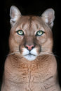 Puma portrait with beautiful eyes
