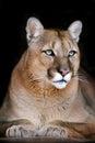 Puma portrait on black Royalty Free Stock Photo