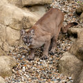 Puma on Rock Crouching Ready to Pounce Stock Photography