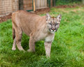 Puma Stalking Through Enclosure Royalty Free Stock Photography