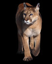 Puma walking at camera isolated at black Royalty Free Stock Photo