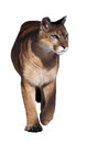 Puma walking at camera isolated at the white Royalty Free Stock Photo