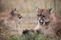Pumas Royalty Free Stock Photo