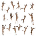Pumas jumping in air against white background Royalty Free Stock Photography