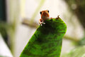 Pumilio poison dart frog peeking over a leaf hiding in bromeliad plant blue jeans thumbnail captive in an aquarium endangered Stock Images