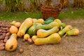 Pumkin harvest Royalty Free Stock Photo