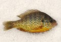 Pumkinseed sunfish on ice a lepomis gibbosus the caught by fishing in pennsylvania Stock Photo