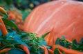 Pumpkin close up orange pumpkin side view gourd fragment close up squash background sinderella Stock Images