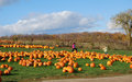 Pumpkin farm part of the fun of halloween is going to a to pick out the biggest one Royalty Free Stock Images