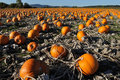 Pumpkin field Royalty Free Stock Photo