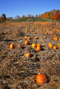 Pumpkin Field Stock Images