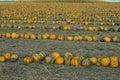Pumpkin field Royalty Free Stock Photo