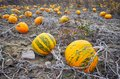 Pumpkin field in autumn, selective focus. Royalty Free Stock Photo