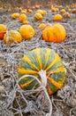 Pumpkin field in autumn. Royalty Free Stock Photo