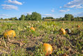 Pumpkin field and bright blue sky with clouds Royalty Free Stock Photo
