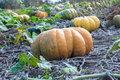 Pumpkin field in a country farm. Royalty Free Stock Photo