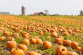 Pumpkin field in a country farm, autumn landscape. Royalty Free Stock Photo