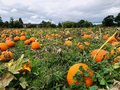 Pumpkin field in a country farm Royalty Free Stock Photo