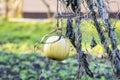 Pumpkin on field Royalty Free Stock Photo