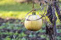 Pumpkin on field Royalty Free Stock Photo