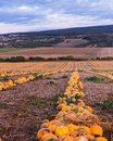 Pumpkin field at sunset. Beautiful landscape in Hungary. Autumn Royalty Free Stock Photo