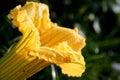 Pumpkin flower Royalty Free Stock Photos