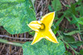 Pumpkin flower in green leaf a Stock Photography