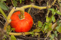 Pumpkin in the garden fresh ripe on bed a kitchen Stock Image