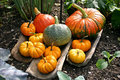 Pumpkin group a of pumpkins different sizes arranged on wooden boards in a vegetable garden Royalty Free Stock Photo