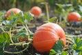 A pumpkin growing in a field on a vine.
