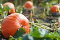 A pumpkin growing in a field on a vine. Royalty Free Stock Photo