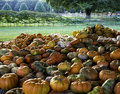 Pumpkin Harvest Pile Royalty Free Stock Photo