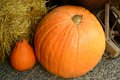 Pumpkin in the harvest season big and small Stock Images