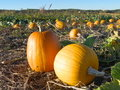 A Pumpkin Patch Royalty Free Stock Photo