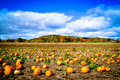 Pumpkin Patch during Autumn Royalty Free Stock Photo